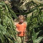 Eve harvesting corn
